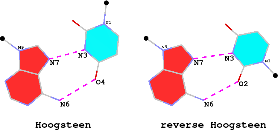 Hoogsteen and reverse Hoogsteen base pairs